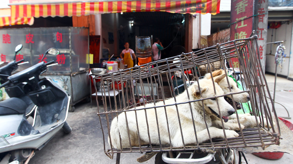 Dogs brought for slaughter wait on the back of a motorbike in Yulin, host to an annual dog meat festival.